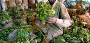 A Somali trader takes khat, a mild narcotic drug meant for exports to Somalia, out of bags, 21 June 2003 at the small Wilson airport in Nairobi. Kenya has imposed a ban on all flights from the country into war-wracked neighboring Somalia, sources at Nairobi Airport's control tower said 21 June. Kenya has in the past accused Somalia, which has not had a recognised government since dictator Mohamed Siad Barre was overthrown in January 1991, of being responsible for the infiltration of arms into the country.     AFP PHOTO/SIMON MAINA  (Photo credit should read SIMON MAINA/AFP/Getty Images)